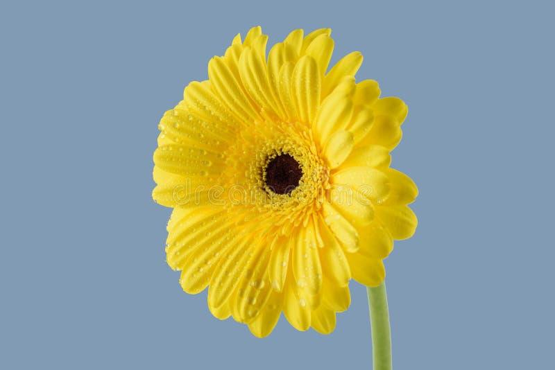Schönes gelbes gerber auf einem grauen Hintergrund stockfotografie