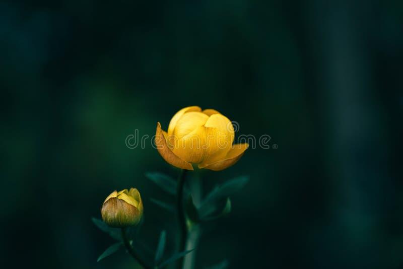 Schönes gelbes globeflower, Trollius europaeus, trollflower auf dunkelgrünem Hintergrund Helles Gelb ist eine seltene Blume gesch lizenzfreie stockbilder