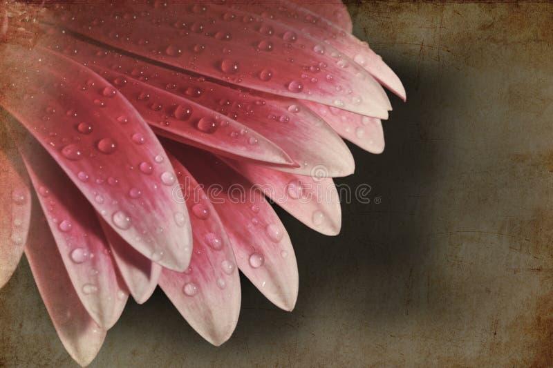 Schönes Gerberagänseblümchen-Blumenmakro lizenzfreies stockbild