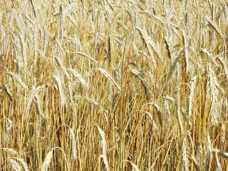Schönes goldenes reifes Roggenkorn, Litauen stockfoto