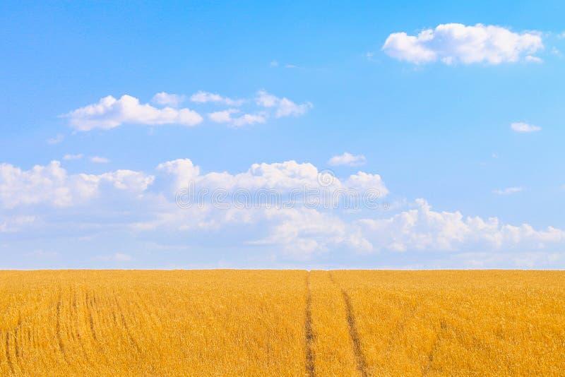 Schönes goldenes Weizenfeld in der Landschaft mit einem ausdrucksvollen blauen Sommerhimmel stockbilder