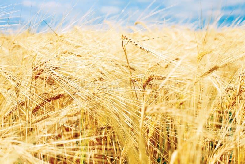 Schönes goldenes Weizenfeld mit blauem Himmel, frische Ernte des Weizens lizenzfreie stockfotografie