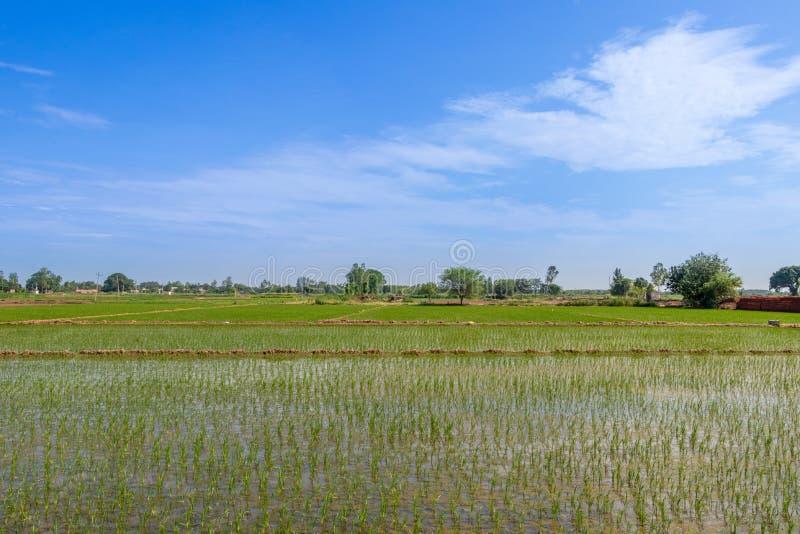 Schönes grünes junges Feld des ungeschälten Reises mit Wasser und breitem Sommerhimmel stockbilder