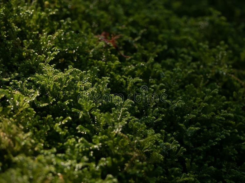 Schönes grünes Moos mit Taupunkt im Sonnenlicht auf dem Boden, Moosnahaufnahme, Makro Schöner Hintergrund des Mooses für Tapete lizenzfreie stockfotos