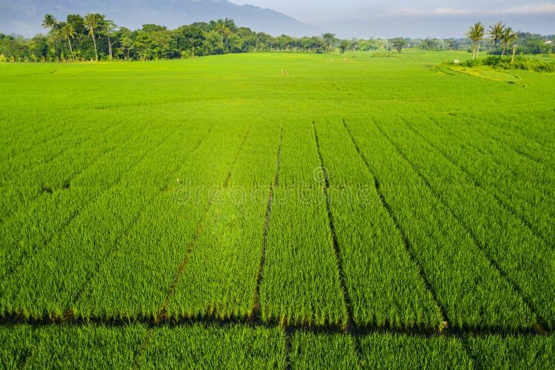 Schönes grünes Reisfeld in Semarang lizenzfreie stockfotos