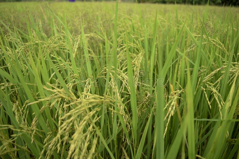 Schönes grünes Reisfeld in Thailand stockbild