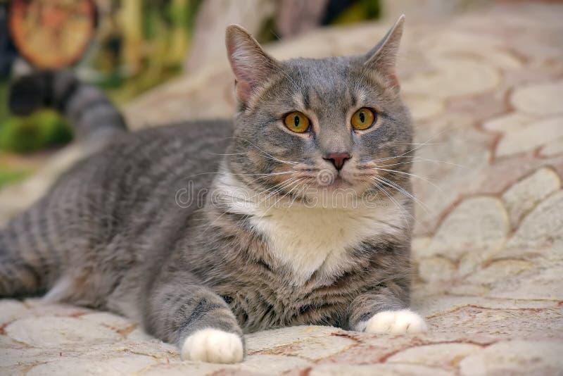 Schönes Grau mit weißer großer Hauskatze stockfotografie