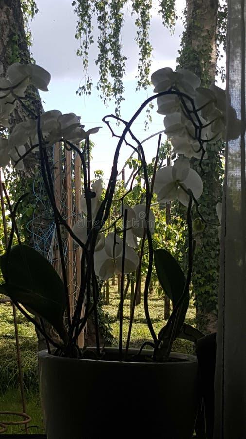 Schönes großes der weißen Betriebsorchidee stockbilder