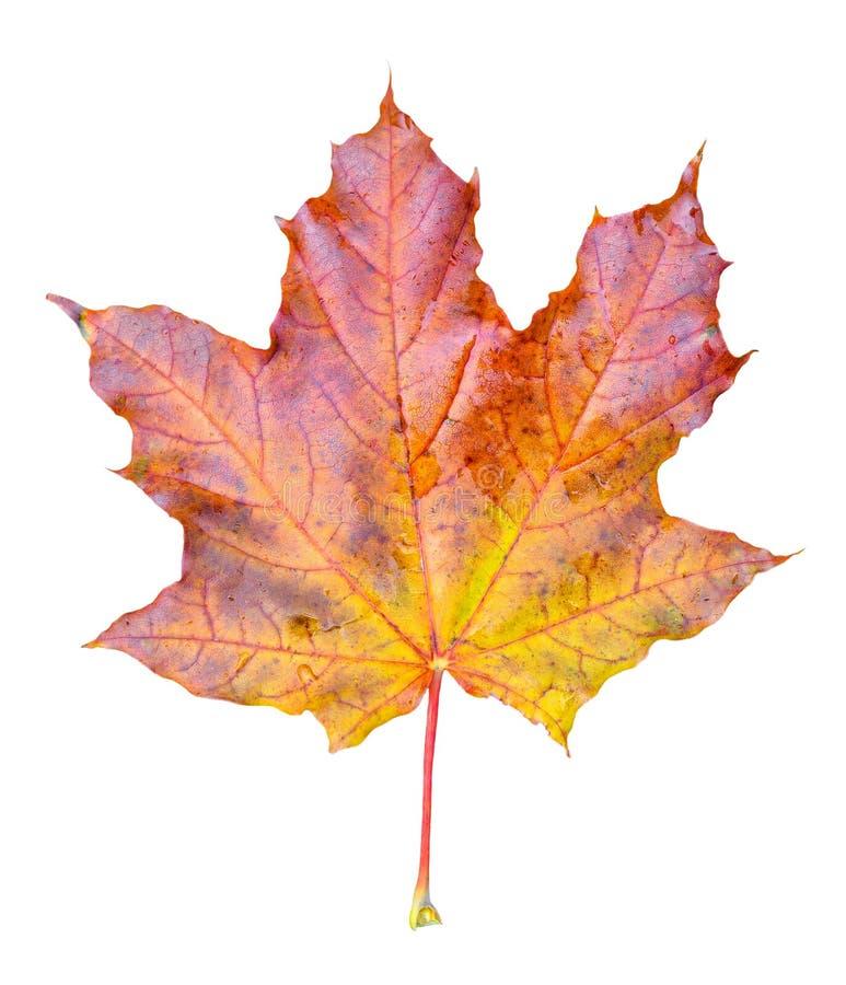 Schönes helles Rot, onange und gelbes Ahornbaumblatt lokalisiert auf weißem Hintergrund Goldener Ahornbaumblattabschluß oben stockfotografie