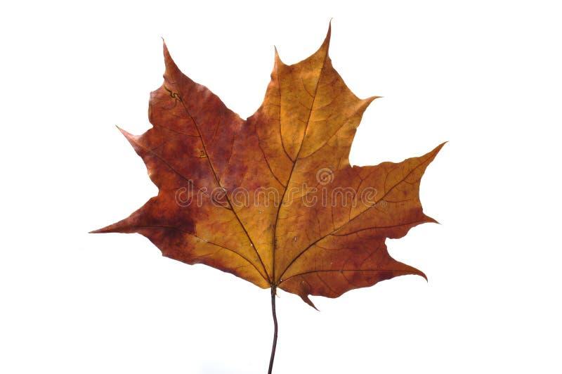 Schönes Herbstfarbenblatt lizenzfreie stockbilder
