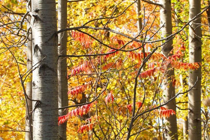 Schönes Herbstlaub der weißen Birke und des sumac lizenzfreie stockbilder