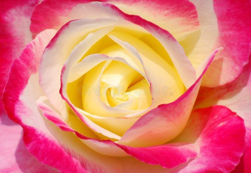 Schönes Herz einer bunten Rose lizenzfreies stockbild