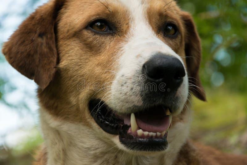 Schönes Hundeporträt mit wachsamem Blick gegen neuen Naturhintergrund lizenzfreies stockbild
