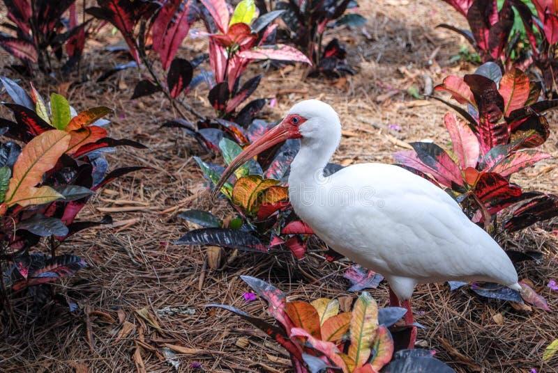 Schönes IBIS in Florida-Fauna lizenzfreies stockbild