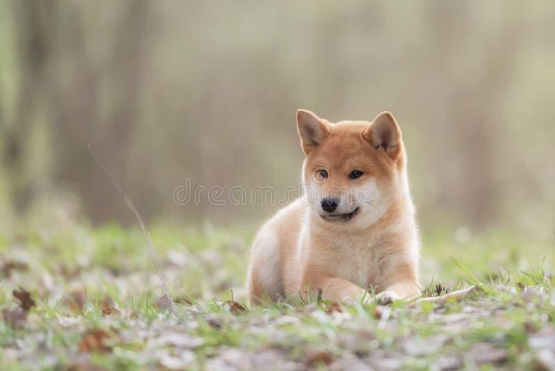 Schönes junges rotes Hündchen Shiba Inu lizenzfreie stockbilder
