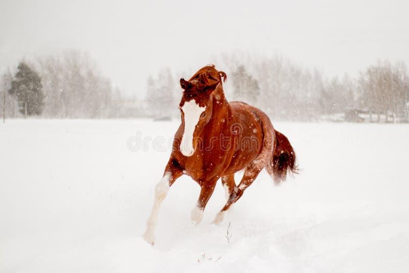 Schönes Kastanienpferd, das frei in den Schnee läuft stockbilder