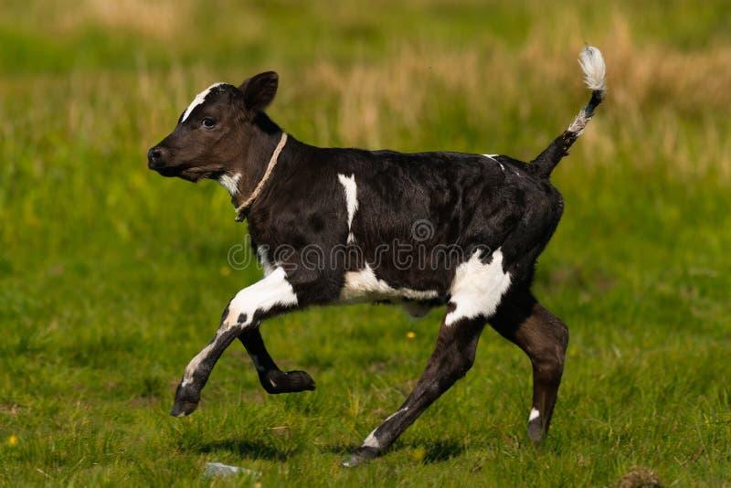 Schönes kleines Schwarzweiss-Kalb von Kuh galopp stockbild