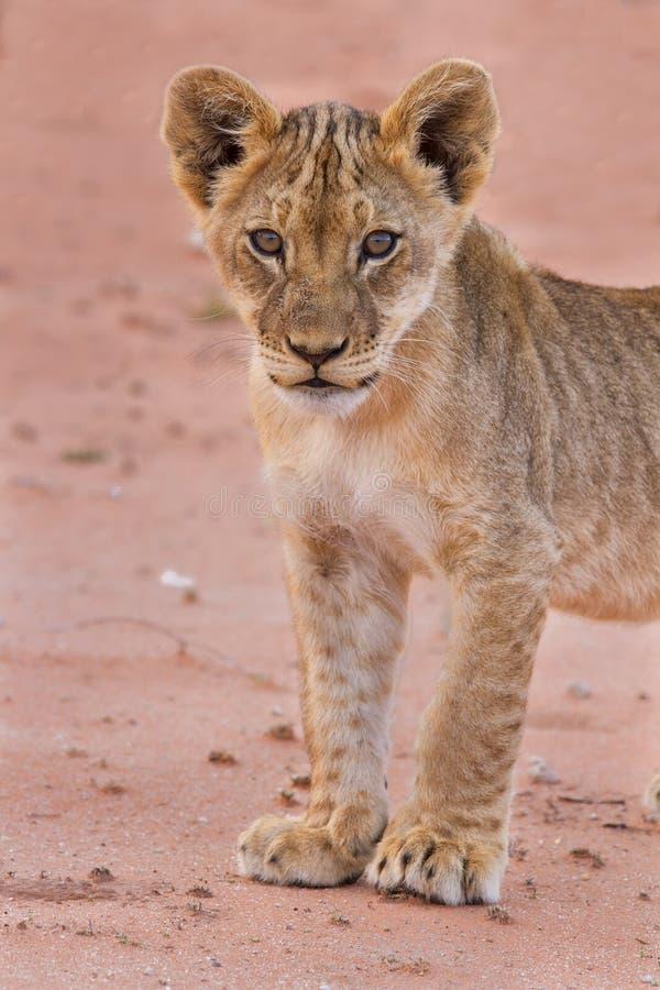 Schönes Löwejunges auf Kalahari-Sand lizenzfreie stockfotos