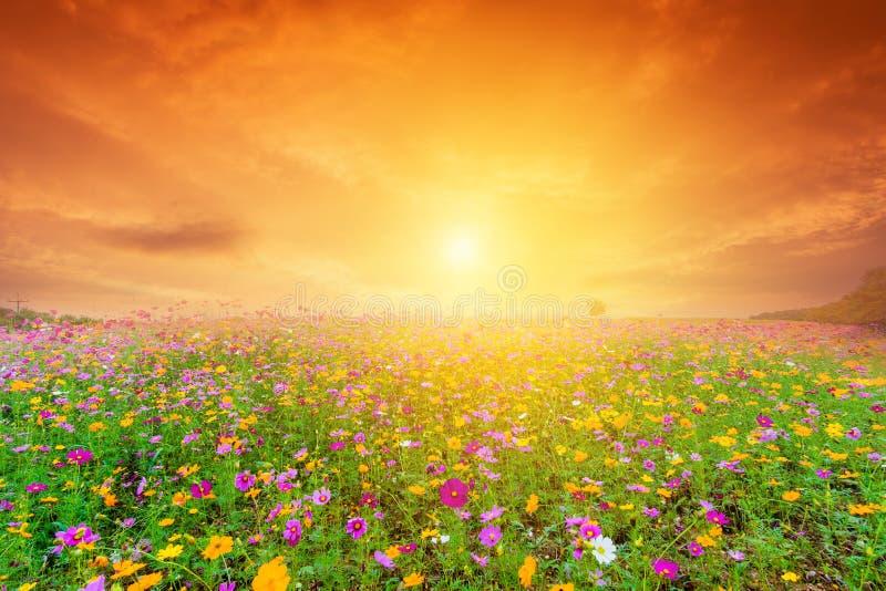 Schönes Landschaftsbild mit Kosmosblumenfeld bei Sonnenuntergang lizenzfreies stockbild