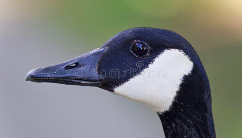 Schönes lokalisiertes Bild einer netten Kanada-Gans stockbild