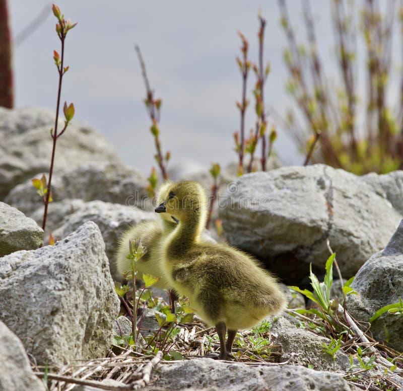 Schönes lokalisiertes Foto eines netten Kükens von Kanada-Gänsen auf dem Ufer lizenzfreie stockbilder
