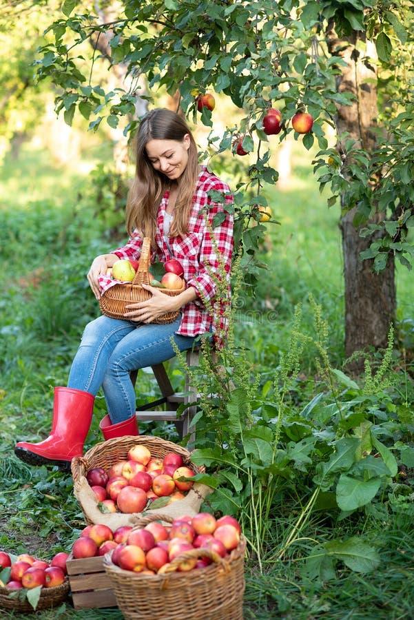Schönes Mädchen, das reife organische Äpfel im Korb im Obstgarten oder auf Bauernhof am Falltag auswählt lizenzfreie stockfotos