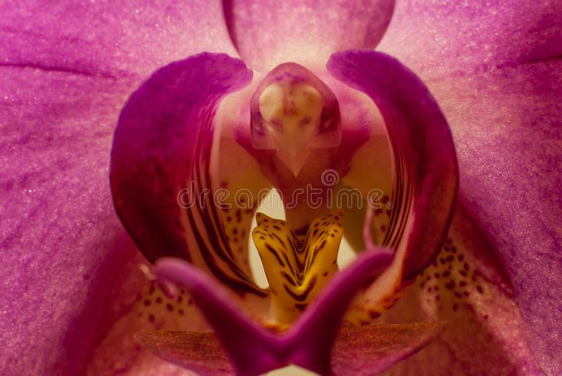 Schönes malvenfarbenes Orchidee Phalaenopsis-Aphroditemakro auf Mittelstaubgefässe stockfotografie