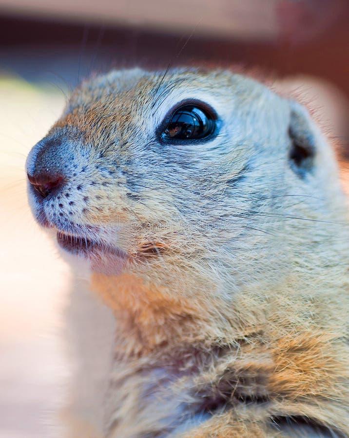 Schönes meerkat 1 lizenzfreies stockbild