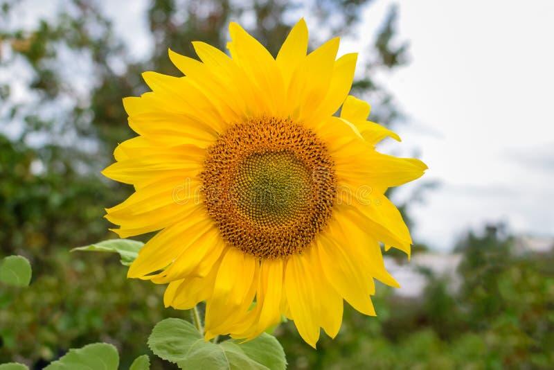 Schönes Muster auf Sonnenblumenblume mit den gelben Blumenblättern stockfoto