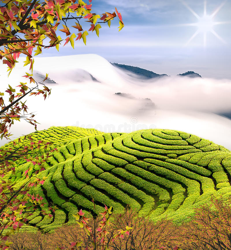 Schönes nettes Ahornholz des Teegartens w stockbild