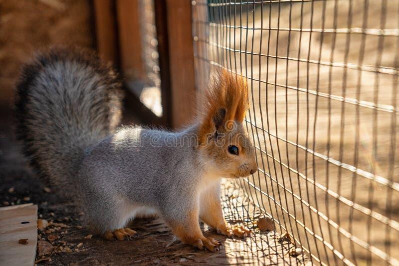 Schönes nettes flaumiges Eichhörnchen an einem sonnigen Tag stockbilder