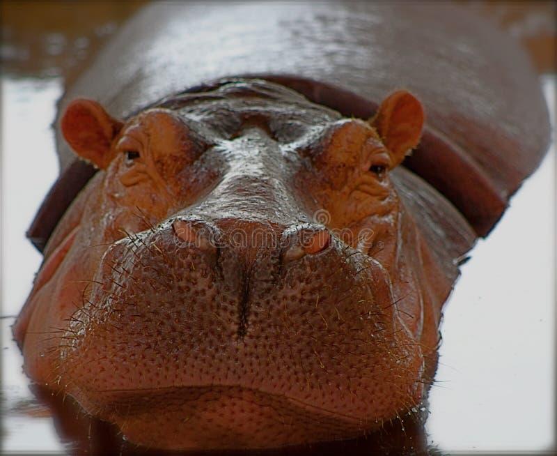 Schönes Nilpferd lizenzfreie stockfotografie