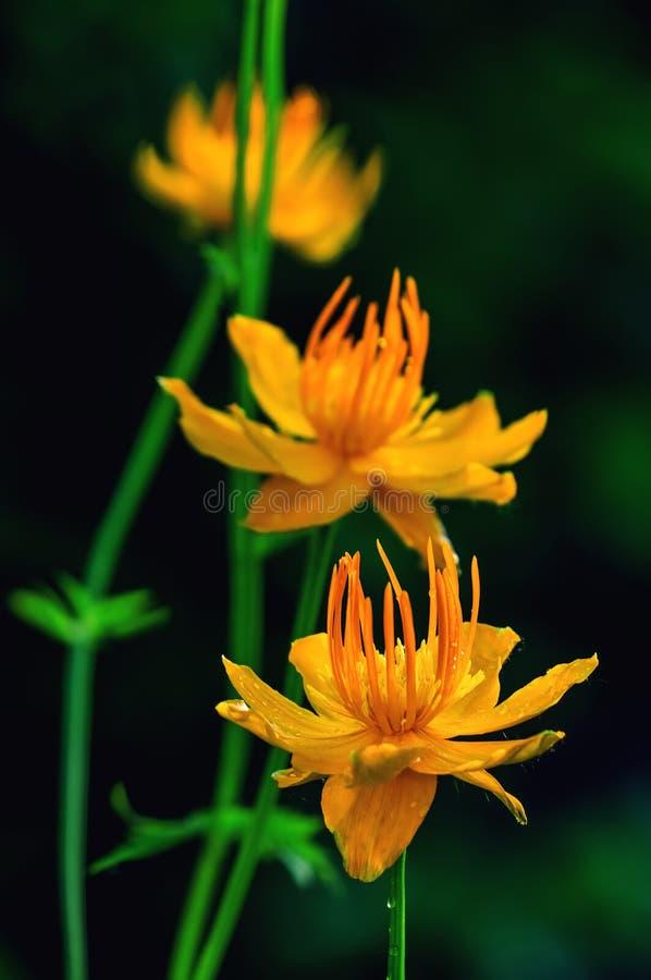 Schönes orange Makroeuropaeus trollius Badeanzüge der Blumen Butterblumeblumen auf einem dunklen Hintergrund, Kunst stockfotos