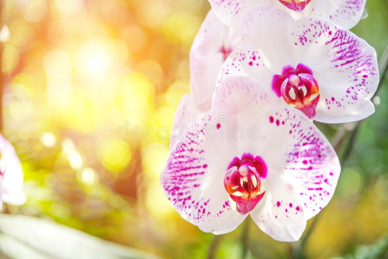 Schönes Orchideenwite und -ROSA im Garten, können verwendet für den Gruß stockfotos
