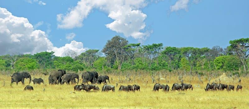 Schönes Panorama einer Herde der Elefanten und des Gnus, die auf den afrikanischen Ebenen in Nationalpark Hwange, Simbabwe weiden stockfotografie