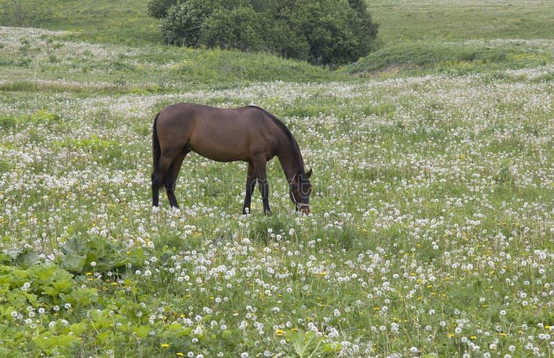 Schönes Pferd auf dem Feld des Löwenzahns lizenzfreie stockfotos