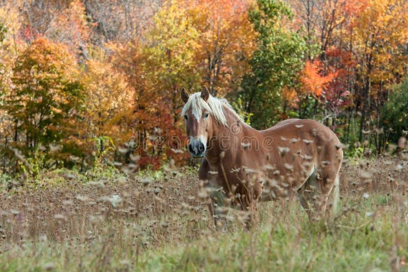Schönes Pferd auf dem Gebiet während des Herbstlaubs lizenzfreie stockfotos