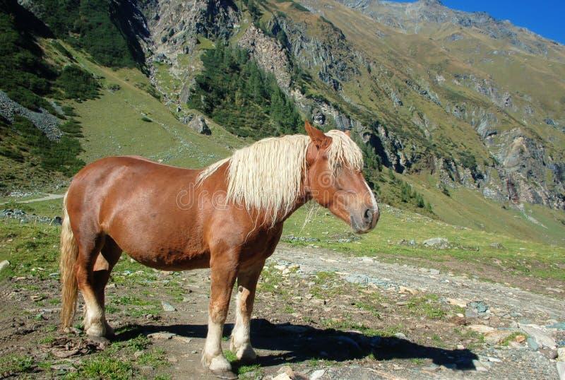 Schönes Pferd in den Alpen stockfotos