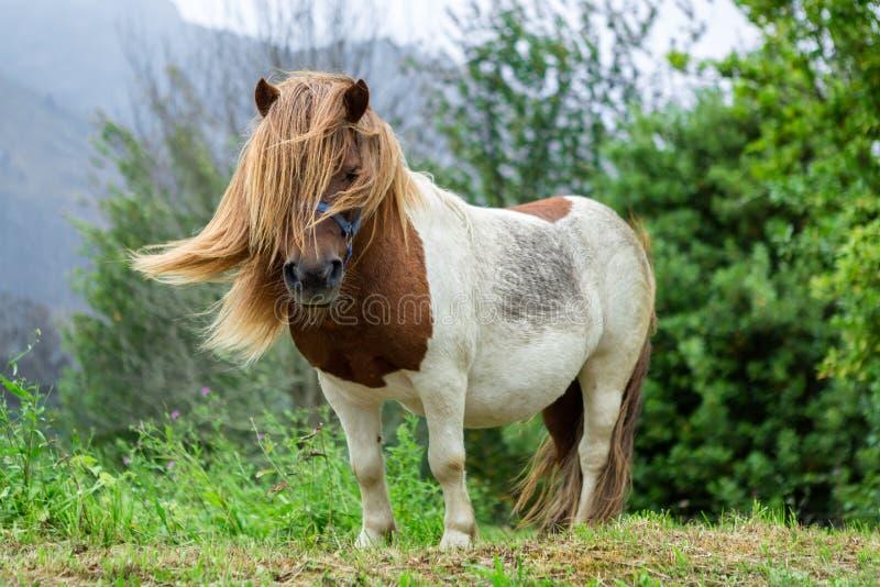 Schönes Pony mit dem langen Haar im wilden lizenzfreie stockfotografie