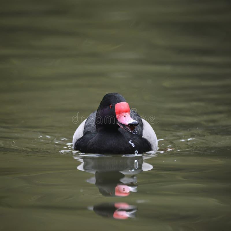 Schönes Porträt des Rosig-Berechnen Tafelenten-Entenvogels Netta Peposa stockfoto