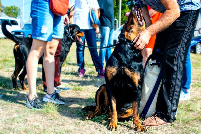 Schönes Porträt jungen rottweiler Hundes lizenzfreie stockbilder