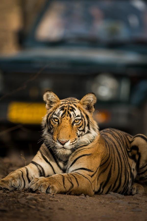 Schönes Porträt königlichen Bengal-Tiger Panthera der Tigris, ranthambore Tigerreserve, Rajasthan, Indien stockfotografie