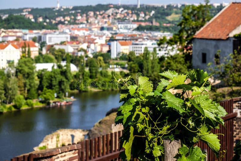 Schönes Prag durch die Blätter des Weinstocks an Vysehrad-Weinberg stockfoto