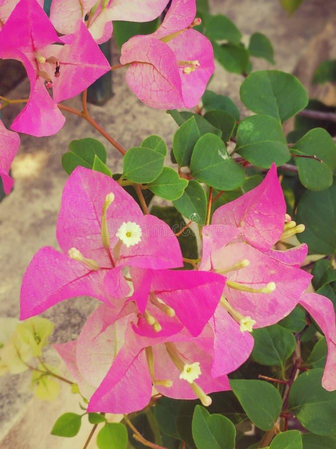 Schönes rosa Bougavillea lizenzfreie stockbilder