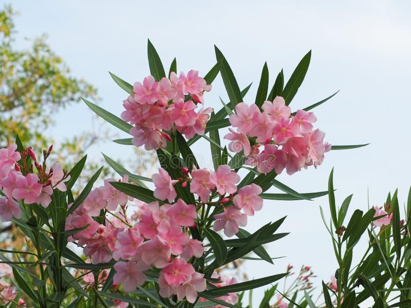 Schönes Rosa der Oleanderblume lizenzfreies stockfoto