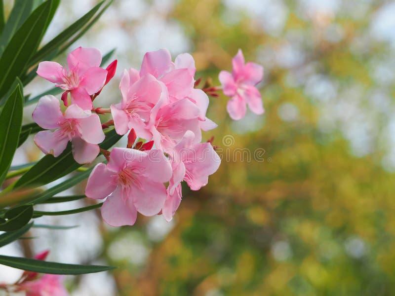 Schönes Rosa der Oleanderblume stockfoto