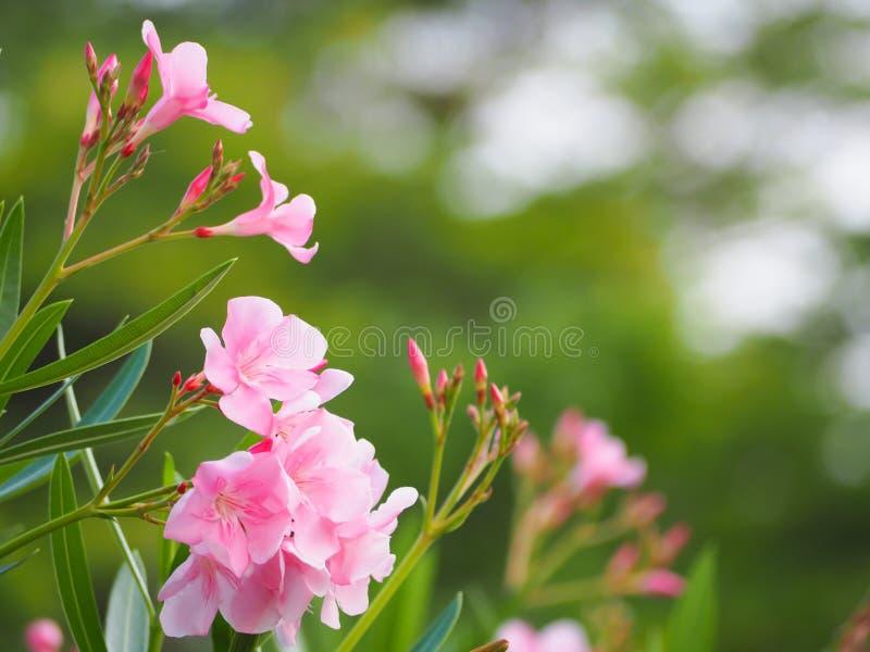 Schönes Rosa der Oleanderblume stockbild