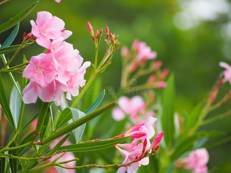 Schönes Rosa der Oleanderblume stockfotos