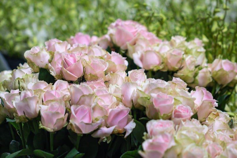 Schönes Rosa des selektiven Fokus und grüne Rosen blühen Hintergrund lizenzfreies stockbild