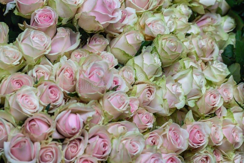 Schönes Rosa des selektiven Fokus und grüne Rosen blühen Hintergrund stockfoto